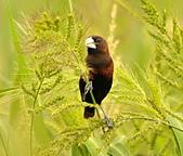黑頭文鳥:DSC_5222.JPG