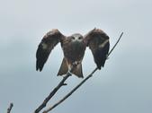 老鷹   Black kite :DSC_1414.JPG