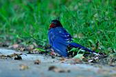 台灣藍鵲  Taiwan Blue Magpie :DSC_2312.JPG