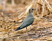 燕鴴 Large Indian Pratincole :DSC_2572.JPG