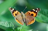 動物寫真:紅蛺蝶.JPG