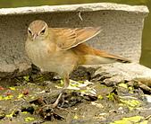 北蝗鶯:DSC_7020.JPG