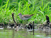 雲雀鷸Long-toed stint  :DSC_2287.JPG