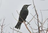 歐洲椋鳥Common Starling  :DSC_9053.JPG