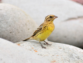 金鵐 Yellow-breasted Bunting  :DSC_7188.JPG