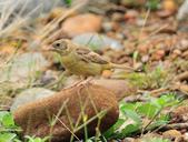 鵐科  Emberizidae:DSC_2695.JPG