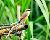 紅尾伯勞Brown Shrike :DSC_2789.JPG