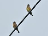 金翅雀  Oriental Greenfinch     :DSC_5334.JPG