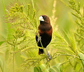 黑頭文鳥:DSC_5223.JPG