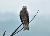 老鷹   Black kite :DSC_1405.JPG