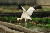 白鶴  Siberian Crane :DSC_0033.JPG