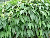 植物寫真:山藥.JPG