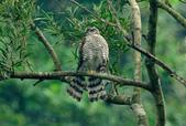 北雀鷹  Northern Sparrow Hawk :DSC_1451.JPG