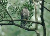 北雀鷹  Northern Sparrow Hawk :DSC_1456.JPG