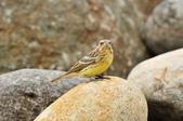 金鵐 Yellow-breasted Bunting  :DSC_7220.JPG