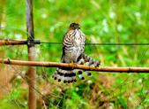 松雀鷹Besra sparrow hawk :DSC_1440.JPG