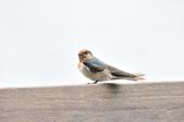 洋燕  Pacific Swallow   :DSC_7095.JPG