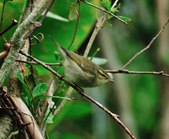 極北柳鶯Arctic Warbler   :DSC_3751.JPG
