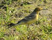 黃頭鶺鴒〈雌〉:DSC_9866.JPG