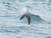 白眉燕鷗Bridled Tern :DSC_0351.JPG