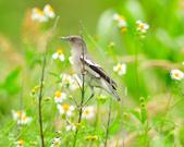 灰背椋鳥  Gray-backed Starling :DSC_6907.JPG