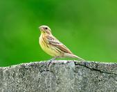 金鵐 Yellow-breasted Bunting  :DSC_6406.JPG