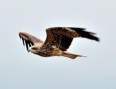 老鷹   Black kite   :DSC_6708.JPG