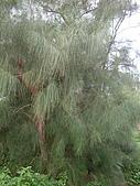 植物寫真:木麻黃.jpg