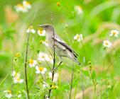 灰背椋鳥  Gray-backed Starling :DSC_6896.JPG