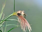 斑文鳥 Nutmeg Mannikin :DSC_6046.JPG