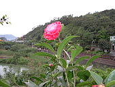 植物寫真:牡丹.JPG