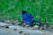 台灣藍鵲  Taiwan Blue Magpie :DSC_2304.JPG