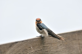 洋燕  Pacific Swallow   :DSC_7113.JPG