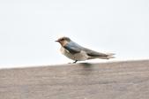 洋燕  Pacific Swallow   :DSC_7093.JPG