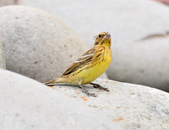 金鵐 Yellow-breasted Bunting  :DSC_7190.JPG