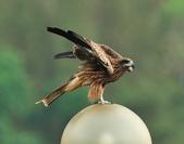 老鷹   Black kite      :DSC_4108.JPG