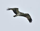 魚鷹 Osprey      :DSC_0448.JPG