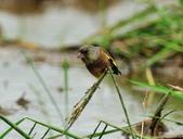 金翅雀  Oriental Greenfinch :DSC_0549.JPG