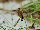 金翅雀  Oriental Greenfinch :DSC_0544.JPG