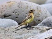 金鵐 Yellow-breasted Bunting  :DSC_6792.JPG