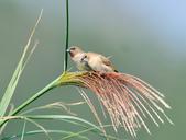 斑文鳥 Nutmeg Mannikin :DSC_6029.JPG