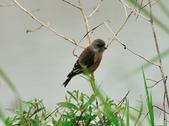 金翅雀  Oriental Greenfinch :DSC_0552.JPG