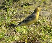 黃頭鶺鴒〈雌〉:DSC_9867.JPG