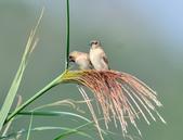 斑文鳥 Nutmeg Mannikin :DSC_6040.JPG