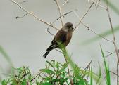 金翅雀  Oriental Greenfinch :DSC_0553.JPG