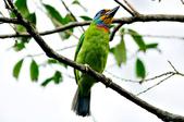 五色鳥  Muller's Barbet   :DSC_3661.JPG