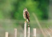 松雀鷹Besra sparrow hawk :DSC_2070.JPG
