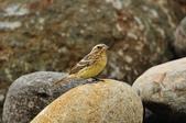金鵐 Yellow-breasted Bunting  :DSC_7202.JPG