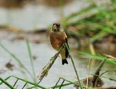金翅雀  Oriental Greenfinch :DSC_0542.JPG