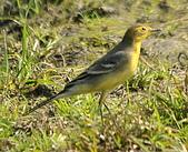 黃頭鶺鴒〈雌〉:DSC_9868.JPG